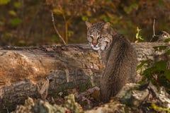 Bobcat (Lynx rufus) Looks Back Royalty Free Stock Photography