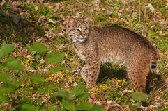 Bobcat (Lynx rufus) Looks Back Stock Photos