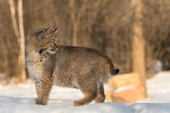 Bobcat & x28;Lynx rufus& x29; Looks Back. Captive animal Stock Image