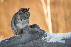Bobcat Lynx rufus Looks Down From Log. Captive animal Royalty Free Stock Images