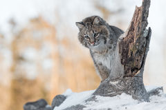 Bobcat Lynx rufus Looks Down From Snowy Log. Captive animal Stock Photography