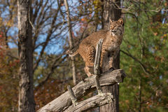 Bobcat (Lynx rufus) Looks Left Atop Branch Royalty Free Stock Images