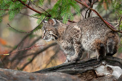 Bobcat (Lynx rufus) Looks Left Atop Log. Captive animal Royalty Free Stock Images