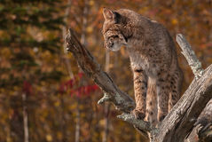 Bobcat (Lynx rufus) Looks Left and Down Stock Photography