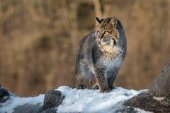 Bobcat Lynx rufus Looks Left into Sun. Captive animal Royalty Free Stock Image
