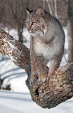 Bobcat (Lynx rufus) Looks Left from Tree Branch. Captive animal Royalty Free Stock Images