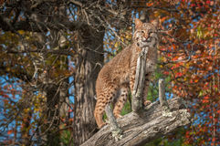 Bobcat (Lynx rufus) Looks Out from Atop Branch. Captive animal Royalty Free Stock Photography