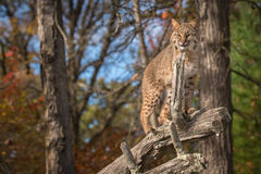 Bobcat Lynx rufus Looks Out From Atop Branch Royalty Free Stock Photo