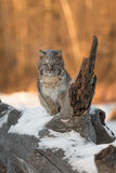 Bobcat Lynx rufus Looks Out from Log Stock Photography