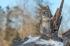 Bobcat Lynx rufus Looks Out From Log. Captive animal Royalty Free Stock Photography