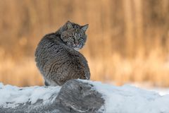 Bobcat Lynx rufus Looks Over Shoulder. Captive animal Royalty Free Stock Photos