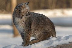 Bobcat Lynx rufus Looks Over Shoulder Sitting on Log. Captive animal Stock Photography