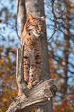 Bobcat (Lynx rufus) Looks Right from Above Royalty Free Stock Photo