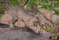 Bobcat (Lynx rufus) Looks Right Atop Log Royalty Free Stock Photos