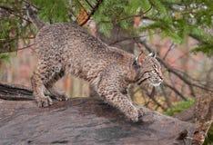 Bobcat (Lynx rufus) Looks Right Atop Log. Captive animal Royalty Free Stock Photos