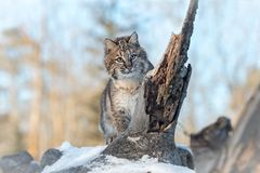 Bobcat Lynx rufus Looks Right From Log. Captive animal Stock Image