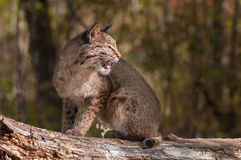 Bobcat (Lynx rufus) Looks Right with Open Mouth Stock Photos