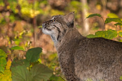 Bobcat Lynx rufus Looks Up. Captive animal Royalty Free Stock Image