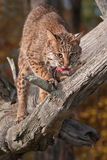 Bobcat (Lynx rufus) With Meat Snack Royalty Free Stock Photos