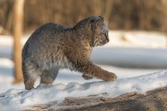 Bobcat Lynx rufus Moves Right on Log. Captive animal Stock Photography