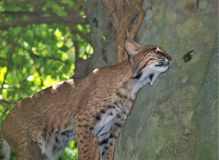North American Bobcat Lynx Rufus. The bobcat Lynx rufus is a North American cat that that ranges from southern Canada to central Mexico, including most of the stock photography