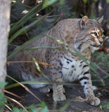 Bobcat (Lynx rufus) Royalty Free Stock Photography