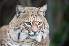 Bobcat - Lynx rufus Royalty Free Stock Photography