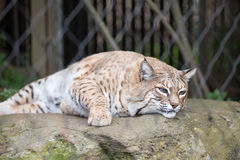 Bobcat - Lynx rufus Royalty Free Stock Photo