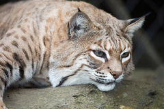 Bobcat - Lynx rufus Stock Photos