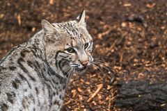 Bobcat Lynx rufus. A North American predator that inhabits wooded areas Royalty Free Stock Photography