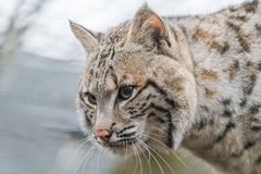 Bobcat Lynx rufus. A North American predator that inhabits wooded areas Royalty Free Stock Image