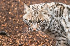 Bobcat Lynx rufus. A North American predator that inhabits wooded areas Stock Images