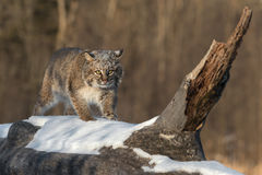 Bobcat Lynx rufus One Step. Captive animal Stock Image