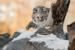 Bobcat Lynx rufus Paw Up on Log. Captive animal Stock Photo