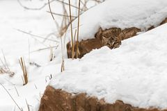 Bobcat Lynx rufus Peeks From Behind Snow. Captive animal Royalty Free Stock Photo