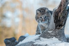 Bobcat Lynx rufus Peers Around Log. Captive animal Royalty Free Stock Photos