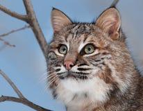 Bobcat (Lynx rufus) Portrait. Captive animal Stock Photos