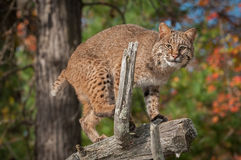 Bobcat (Lynx rufus) Prepares to Jump Off Branch Royalty Free Stock Photo