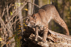 Bobcat (Lynx rufus) Prepares to Pounce Stock Photo