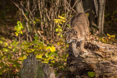 Bobcat Lynx rufus Preps to Jump Royalty Free Stock Photography