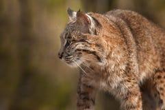 Bobcat Lynx-rufus Profil Lizenzfreies Stockbild