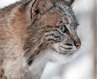 Bobcat (Lynx rufus) Profile Closeup Stock Photos