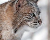Bobcat (Lynx rufus) Profile Closeup. Captive animal Stock Photos