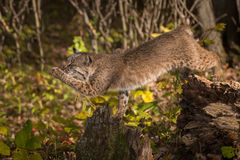 Bobcat Lynx rufus Reaches Out With One Paw. Captive animal Royalty Free Stock Photo