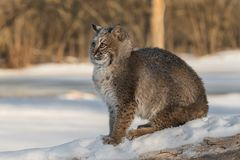 Bobcat Lynx rufus Recoils. Captive animal Royalty Free Stock Photography