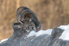 Bobcat Lynx rufus Rubs Cheek on Log. Captive animal Royalty Free Stock Photos