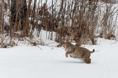 Bobcat Lynx rufus Runs Past Brush. Captive animals Royalty Free Stock Images