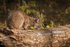Bobcat Lynx-rufus schnüffelt am Klotz Stockfotos