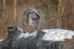 Bobcat Lynx rufus Shakes Off Snow. Captive animal Stock Images