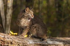 Bobcat (Lynx rufus) Sits Atop Log Looking Right Royalty Free Stock Photography